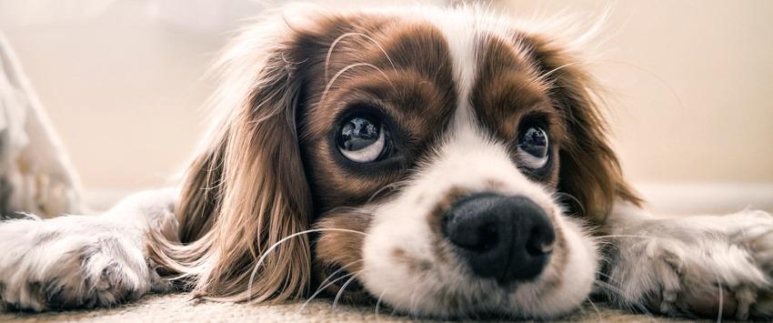 Guide d'achat tondeuse pour chien