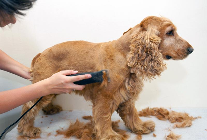 Les modèles de tondeuses pour chien